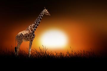 Giraffe on the background of sunset