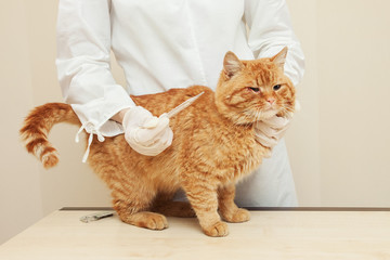 sick cat.Nurse measures the temperature of red cat