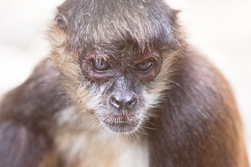 Yucatan Spider Monkey Looking Serious