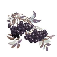 Black Viburnum berries branch. Vector