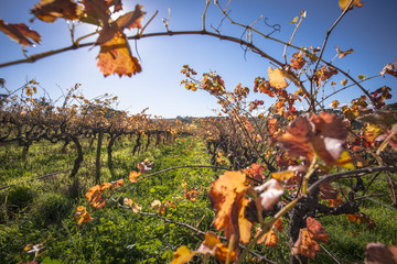 Beautiful orange, red and yellow leaves on the vineyard in autumn