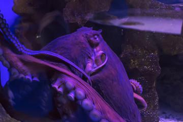 Big common octopus Octopus vulgaris. Wildlife animal.