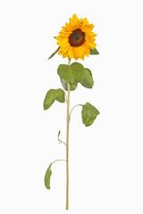 Sonnenblume-Freisteller