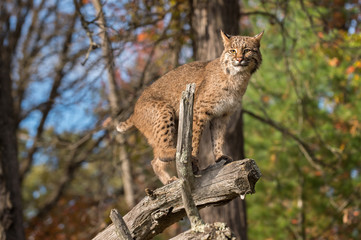 Wall Mural - Bobcat (Lynx rufus) Balances on Branch