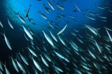 Tuna fish underwater in sea ocean