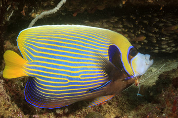 Emperor Angelfish with cleaning shrimp