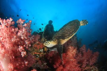 Hawksbill Sea Turtle and scuba diver