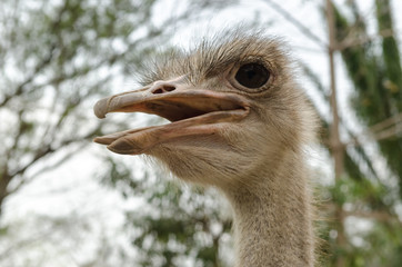 close-up of head of ostrich.