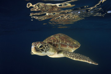Sea Turtle with reflection