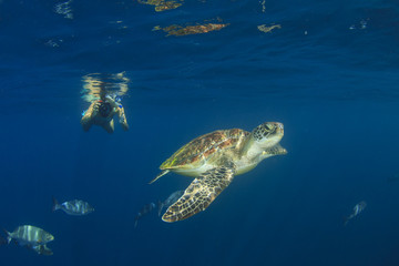 Young woman snorkeling swims with sea turtle
