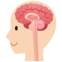 脳の断面図 医療