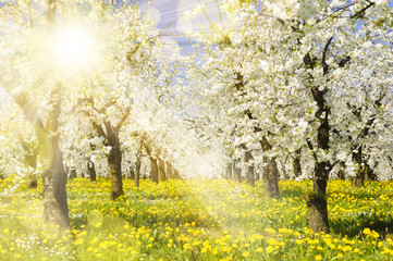 Plantage mit Apfelbäumen und Sonnenstrahlen im Gegenlicht