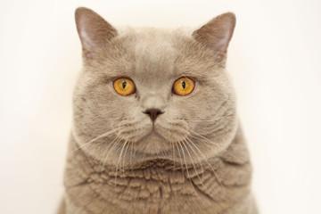 gray cute little kitten British