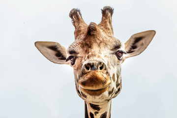 Close up portrait of Masai giraffe