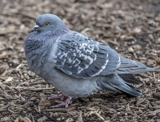 Feral pigeons,Columba livia domestica