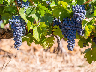Bunches of red grapes growing in one of the vineyards in Stellenbosh, South Africa.
