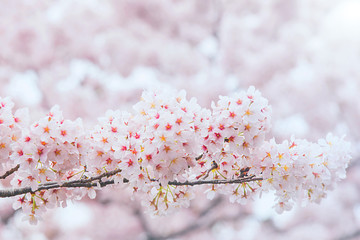 Wall Mural - Cherry Blossom with Soft focus, Sakura season in korea,Backgroun