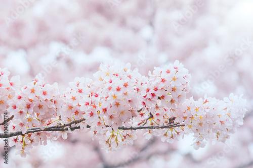 Wall mural Cherry Blossom with Soft focus, Sakura season in korea,Backgroun