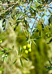 Olives in olive tree, olive oil