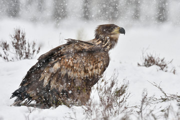 White-tailed eagle in snowfall. Eagle on snow. Eagle in winter.