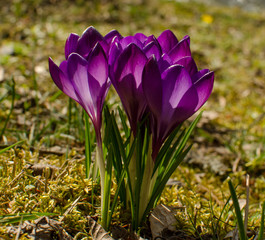 Bunch of crocuses