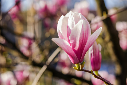 magnolia flowers close up on a blurred  background