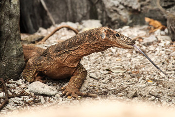 Monitor Lizard walking on washed up coral