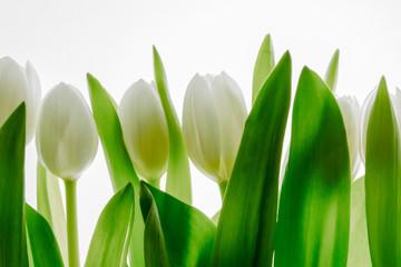 Fototapeta białe tulipany na białym tle  obraz
