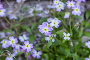Lilac wild flowers in green field
