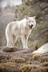 white wolf on a hill