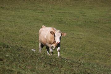 Simmental cow in Switzerland