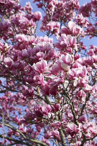 Sfondo Magnolia In Fiore Senza Foglie Stock Photo And Royalty Free