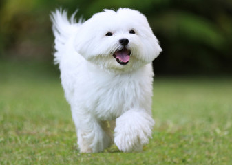 Running Dog / A white maltese dog running on green grass background