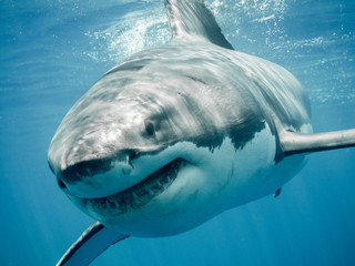 Great white shark close up smiling and swimming front in the blue Pacific Ocean at Guadalupe Island in Mexico Fotoväggar