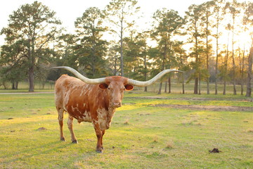 Texas Long Horn Cow Sunset