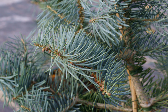Abies concolor Violacea
