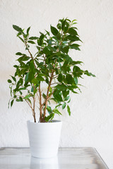 Ficus benjamina in white pot on metallic surface against white stucco wall