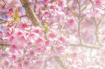 sakura, the famouse flower of Thailand