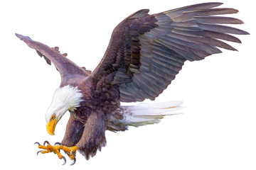 Bald eagle swoop hand draw on white background vector illustration.