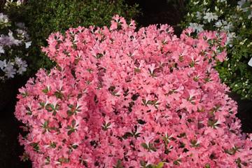 Pink azalea flower blooming background