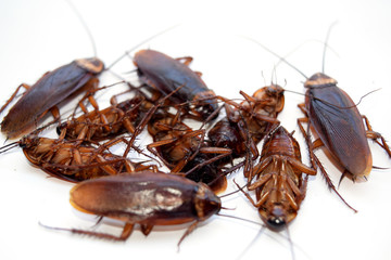 Group dead cockroach isolate on white background