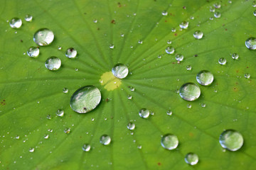 Close up drop Roll on water Green lotus leaf