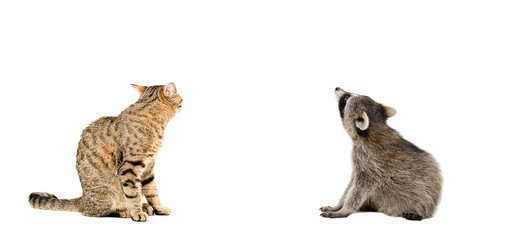Canvas Prints Lynx Scottish Straight cat and raccoon sitting together, rear view