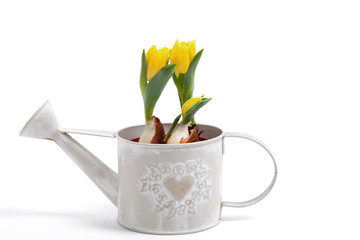 yellow tulips in a watering-can isolated