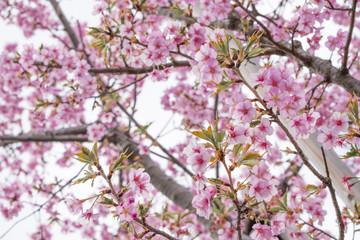 お寺の河津桜