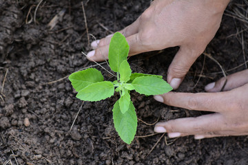 Human hand are planting holy basil