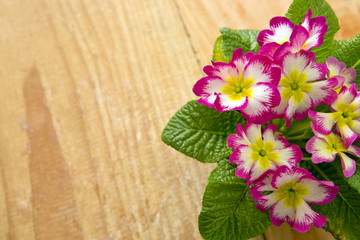 Fresh colorful primula flowers .