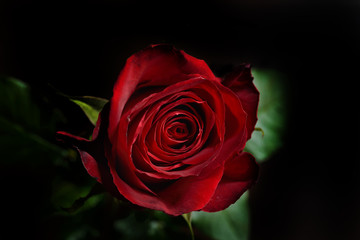 Photo of a red rose on a black background in a studio.Wallpaper.