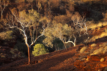 Eucalyptus trees in evening sunlight, Karijini NP, Australia