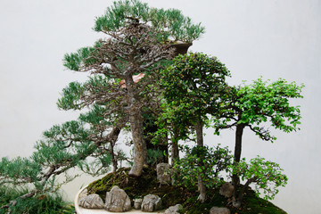 Bonsai tree in the garden under the open outdoors